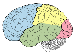 color brain diagram